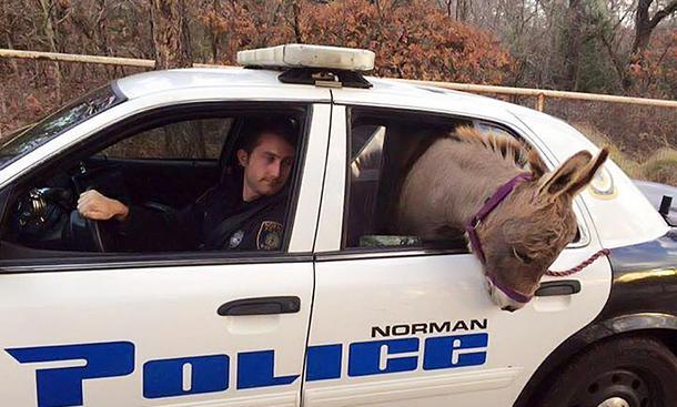Ami-Polizeiwagen transportiert Zwergesel.