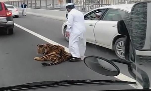 Kurios: Tiger rennt über Autobahn